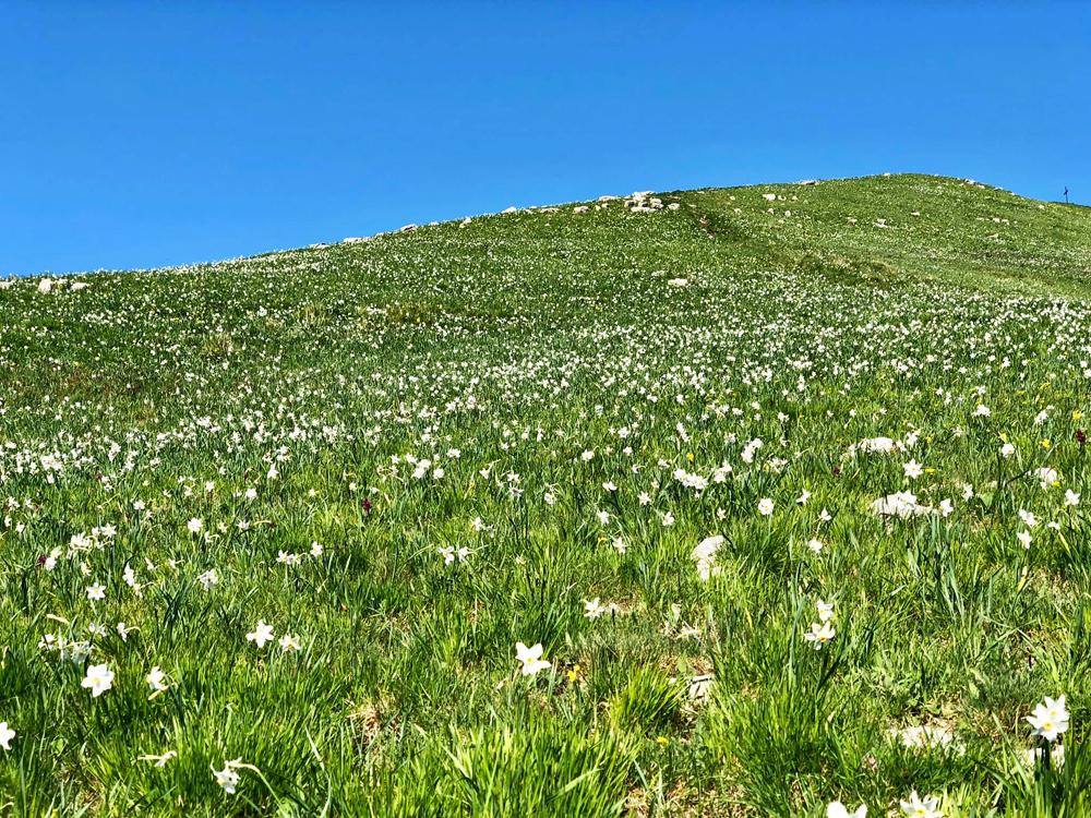Le magiche fioriture del Monte Croce: le giunchiglie!